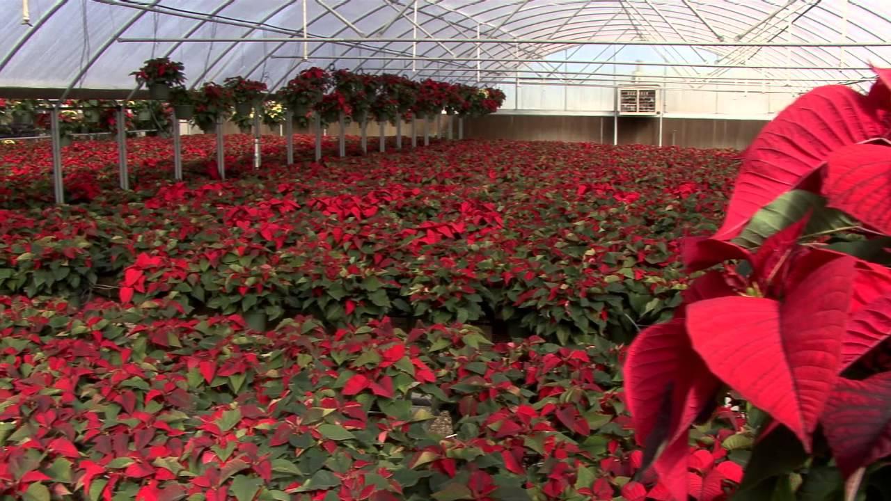 Christmas Poinsettias - Southern Gardening TV - December 11, 2013 ...