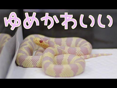 ゆめかわいいヘビの飼育を始めました!