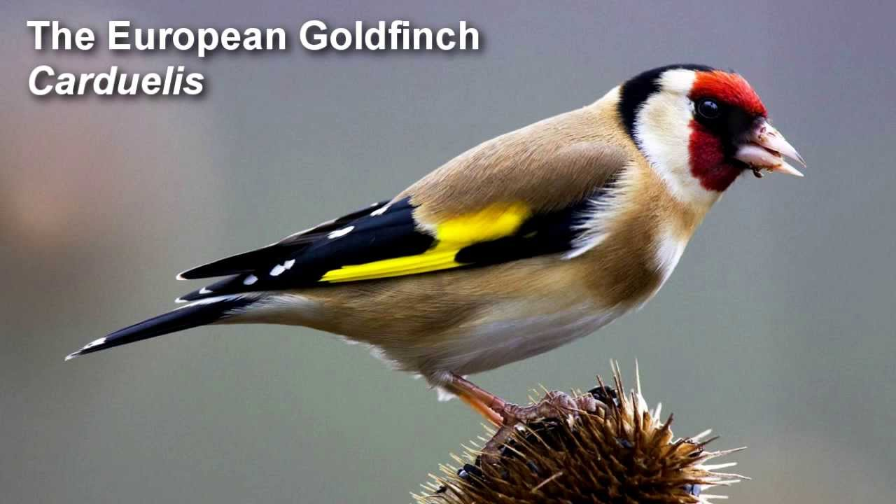 Image result for european finch