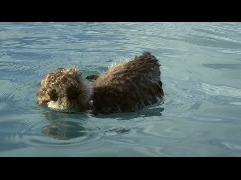 Sea Otter Pup Is Left To Float Alone Alaska Earths Frozen Kingdom Episode 1 Preview Bbc Two