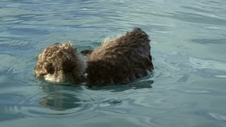 Sea otter pup is left to float alone - Alaska: Earth's Frozen Kingdom: Episode 1 Preview - BBC Two