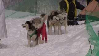 KinugawaKogen Sled Dog Race 2014 2014年2月9日「きぬがわ高原CC第9回...