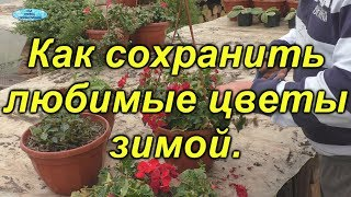Как подготовить и сохранить зимой маточники цветов- сурфиния, пеларгония, бальзамин.