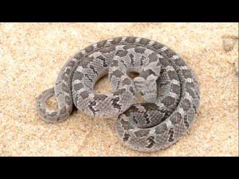 Amazing defense of African Rhombic Egg Eater - Dasypeltis scabra