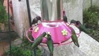 Lots of Hummingbirds! (in HD)