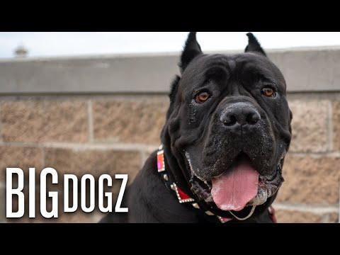 Cane Corsos - The $10,000 Dogs Of War   BIG DOGZ