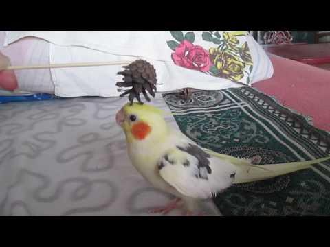 Очень смешной попугай Гучи.Поет,говорит.😂😂😂