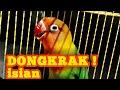 Dongkrak Lovebird Rasa Tengkek Panjang  Mp3 - Mp4 Download