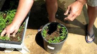 Green Garden TIPS: How to grow carrots in buckets
