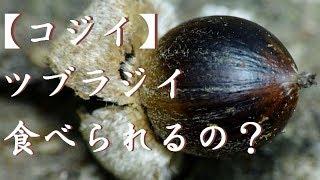 【円椎 】Eat, acorns  ツブラ椎、どんぐり、山に沢山落ちていました。食べられるのでしょうか?