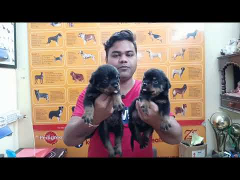 (Dog market Price)  Rottweiler puppies available 8000 only Delhi NCR(9711696640)