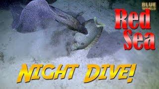 Red Sea Night Dive! | JONATHAN BIRD'S BLUE WORLD