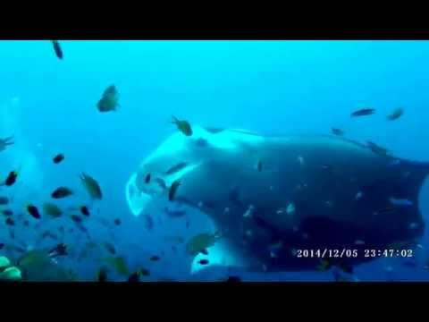 Michael Wood Manta Video, Raja Ampat, Dec. 2014 on Dewi Nusa