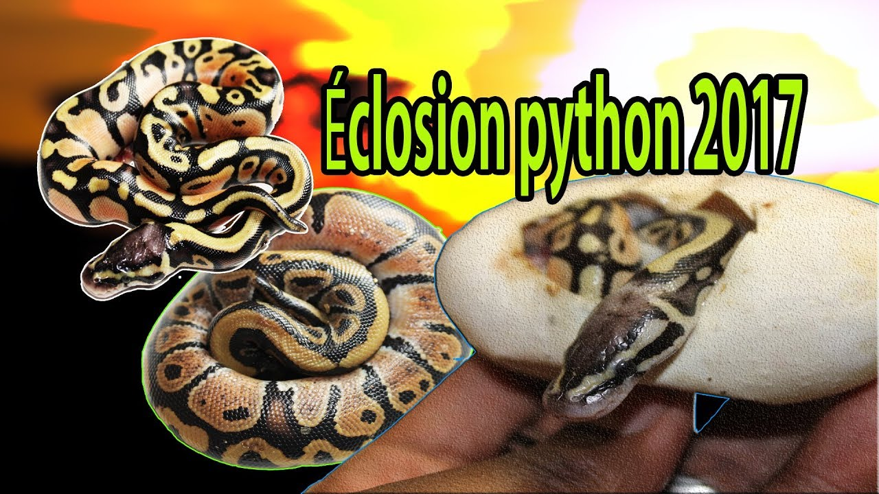 Bien connu 🐍Éclosion python regius 2017!!!🐍 - YouTube KW37