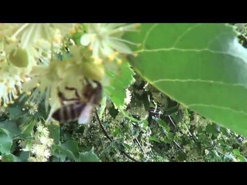 Podlaskie Miody - Pszczoły Na Lipie