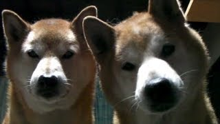 【柴犬ジロー】いつも一緒【柴犬ラン】