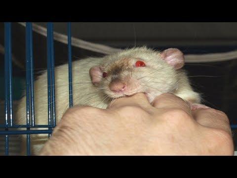 Как отучить крысу кусаться? Почему крыса кусается?
