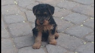 Welsh terrier puppy gets first toy
