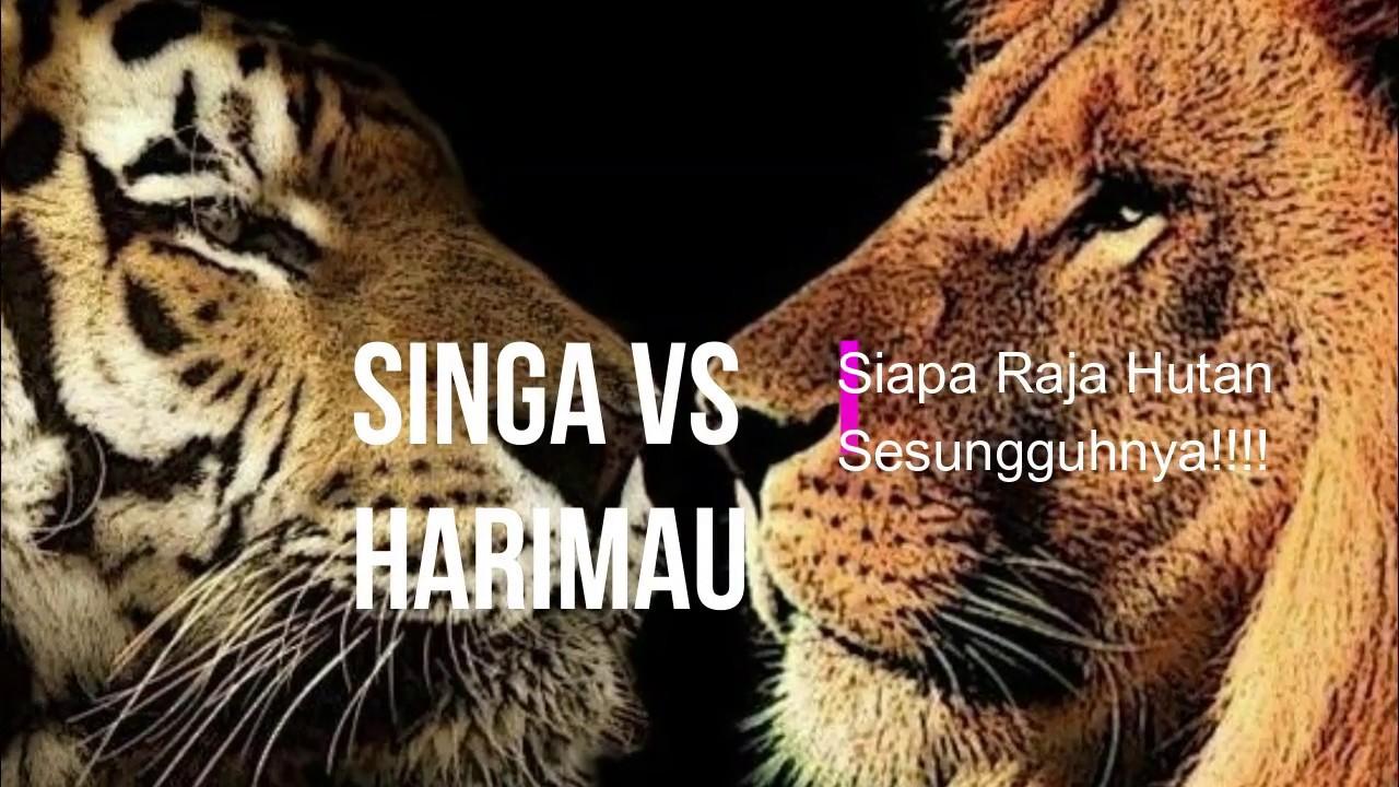 Pertarungan Dahsyat Singa vs Harimau Nyata, Akhirnya Singa