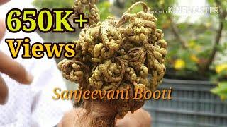 संजीवनी बूटी क्या है ? What is Sanjeevani Booti in Ramayana (Hindi /Urdu) ?