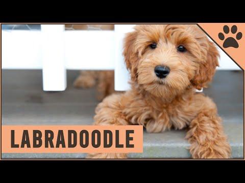 Labradoodle - Dog Breed Information