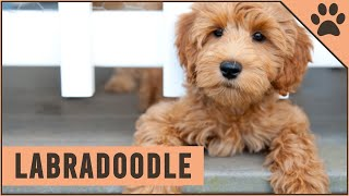 Labradoodle  Dog Breed Information