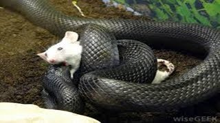 Mother Mouse Protects Baby From Snakes - Mouse Vs Snake thumbnail