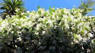 Jasminum polyanthum - Iasomie inflorita Primavara HD 01