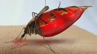 What Happens to Your Blood Inside a Mosquito?