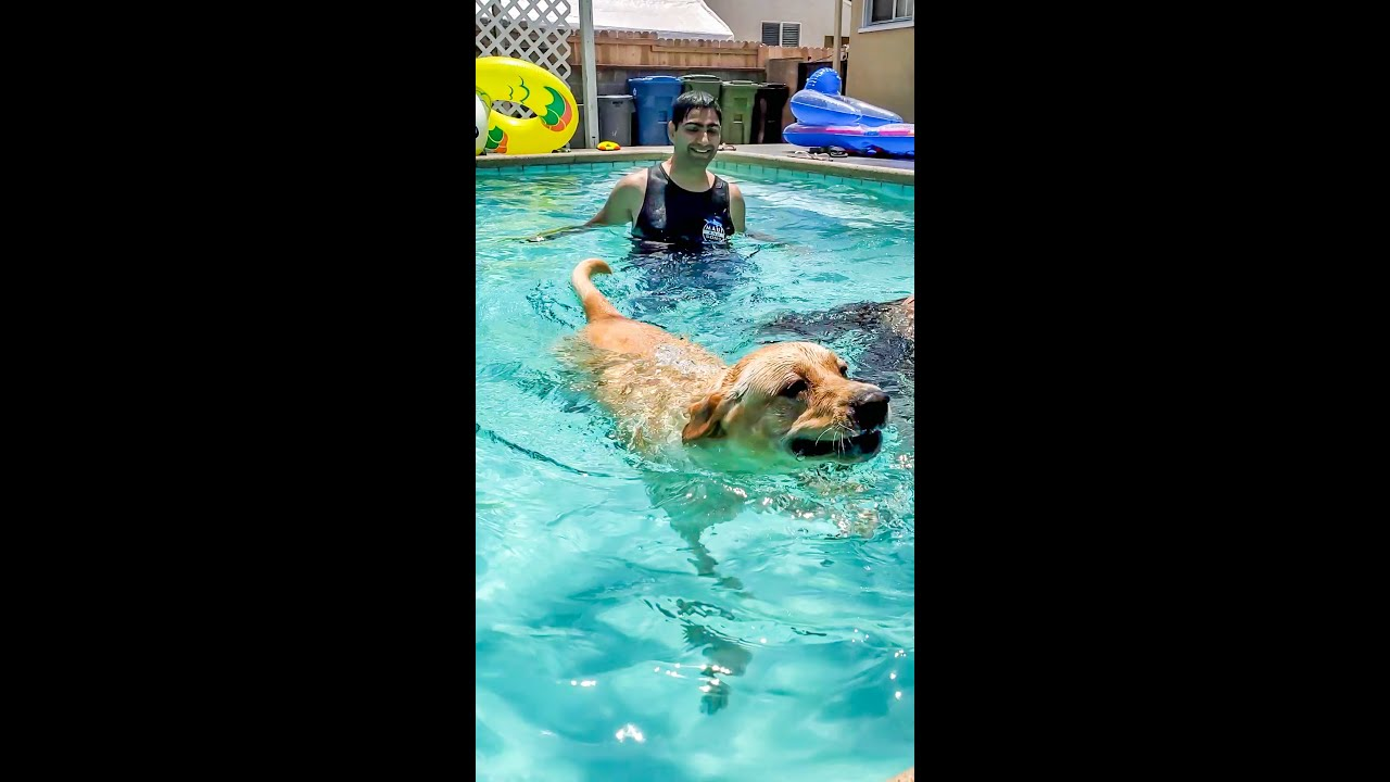 Labrador Dog Swimming in the Pool is the Best Thing You Will See Today #Shorts