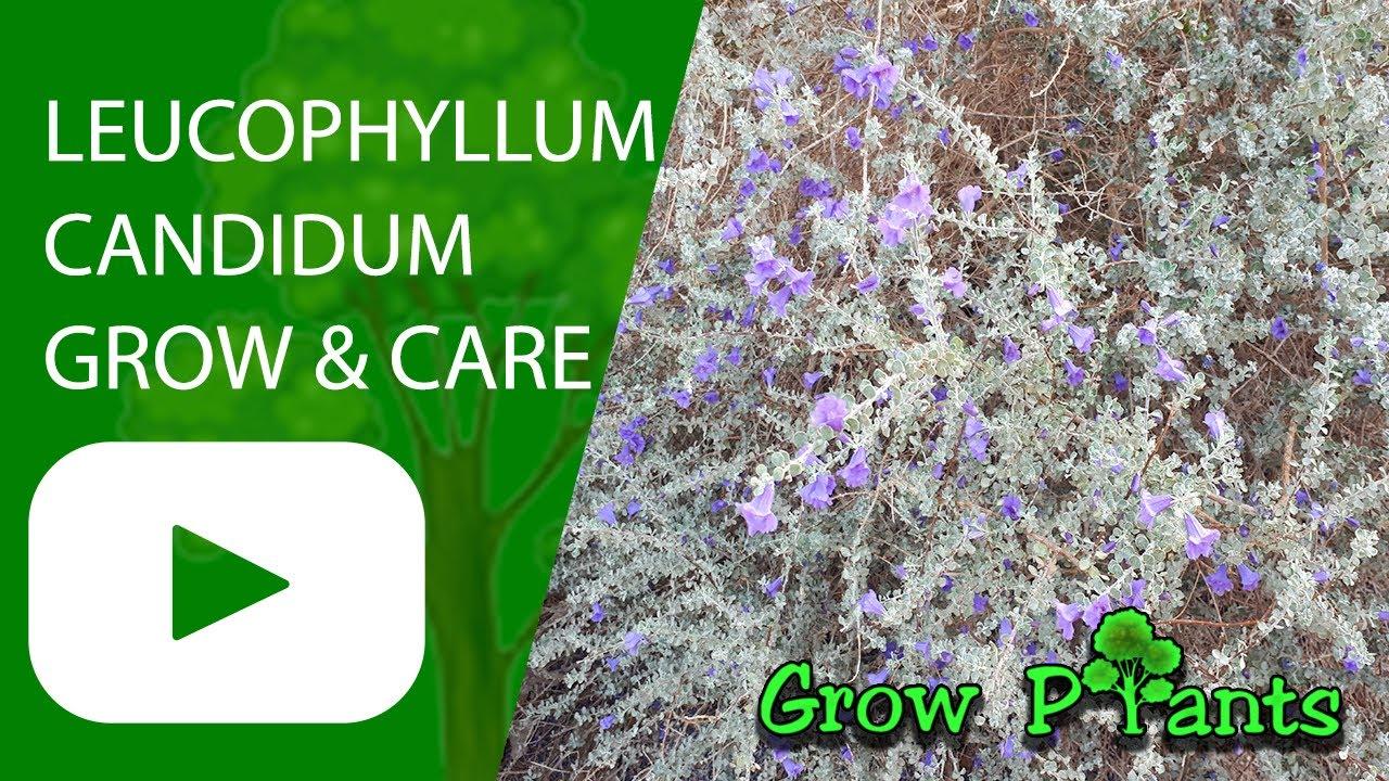 Compacta Plant Fit 1 Gallon Pot Live Texas Ranger aka Leucophyllum ...