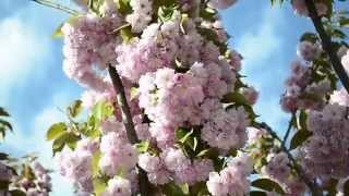 13. Цветущая САКУРА | Щебетание птиц(Сакура в цвету! Невероятно красиво!, 2015-05-07T20:25:46.000Z)