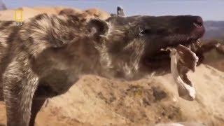 Фантастические фильмы Хищники  Гиена Челюсти как Бритва  Смотреть онлайн бесплатно Nat Geo Wild 2017