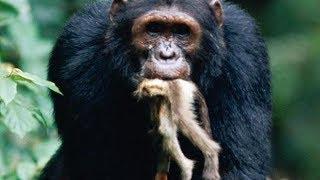 Monkey Hunting of Chimpanzees