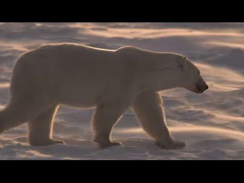 Fur or Blubber: What Keeps Polar Bears Warm?