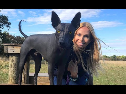 THE XOLO DOG - SCARY OR BEAUTIFUL? - Mexican Hairless Xoloitzcuintli