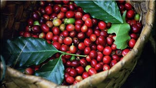 COFFEE EXPORTS: Best returns in 30 years