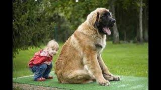 razas de perros Leonberger