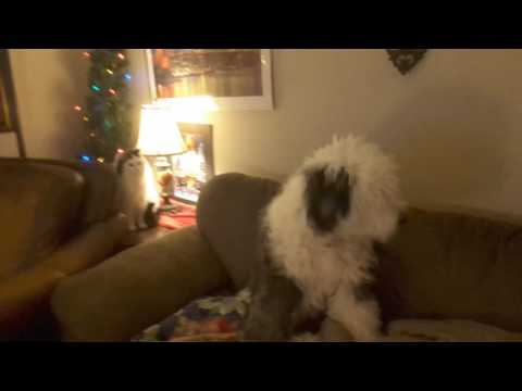 Maine Coon cat and Old English Sheepdog dog video 1