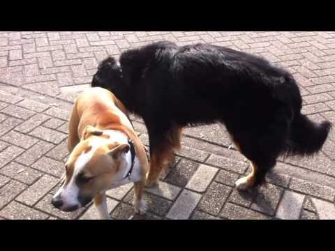 Mating horny shepherd licking AMstafford dog sex kopek