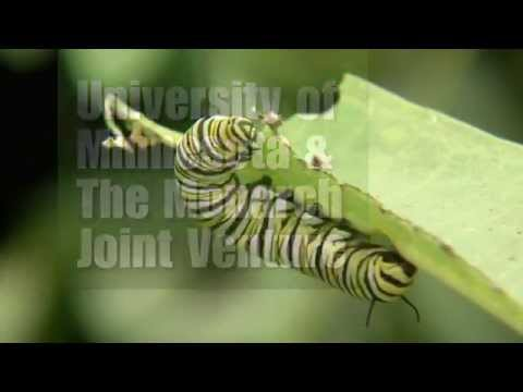 Saving the Monarch Butterfly: Uni. Of MN  & The Monarch Joint Venture