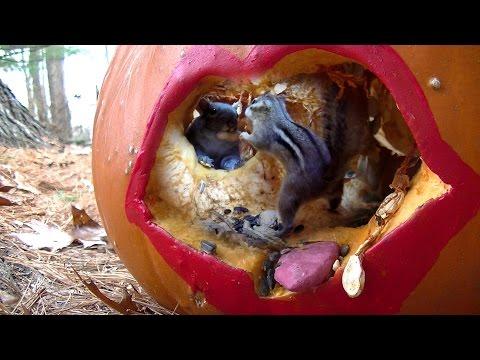 Pumpkin Lips Feeder (chipmunks n squirrels) natural sounds