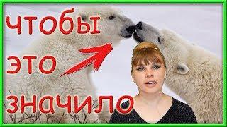 5 трогательных фактов! Зачем белые медведи целуются НОСАМИ?