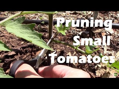 Pruning Young Indeterminate Tomato Plants in Spring.