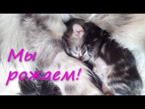 Роды кошки породы мейн-кун.  Роды затянулись