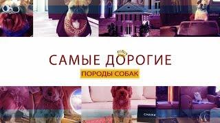 Самые дорогие породы собак в мире ( ТОП 20 )