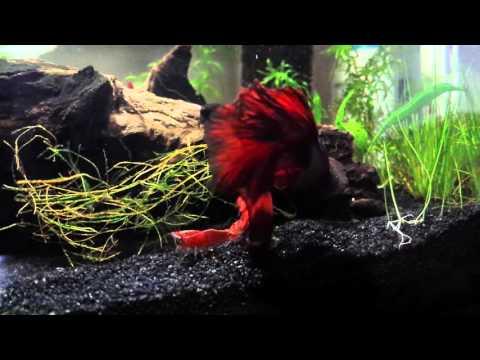 Betta Fish And Cherry Shrimps