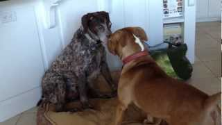 Pit Bull Mauls German Short Haired Pointer