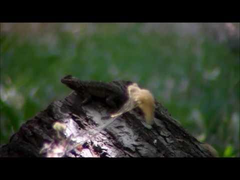 How To Get Rid of Lizards | Lizard Repellent