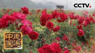 《走遍中国》 20190527 系列片《一路花香》之 玫瑰香自苦寒来| CCTV中文国际